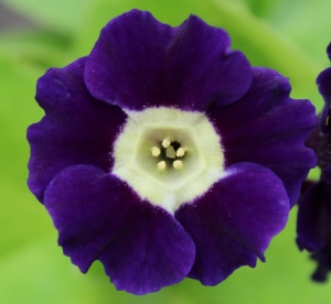 Picture for category Primula