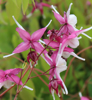 Picture of Epimedium grandiflorum 'Princess Susan'