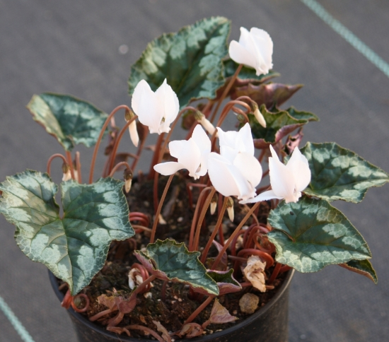 Picture of Cyclamen hederifolium 'Album'
