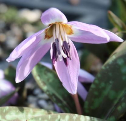 Picture of Erythronium dens-canis 'Lilac Wonder'