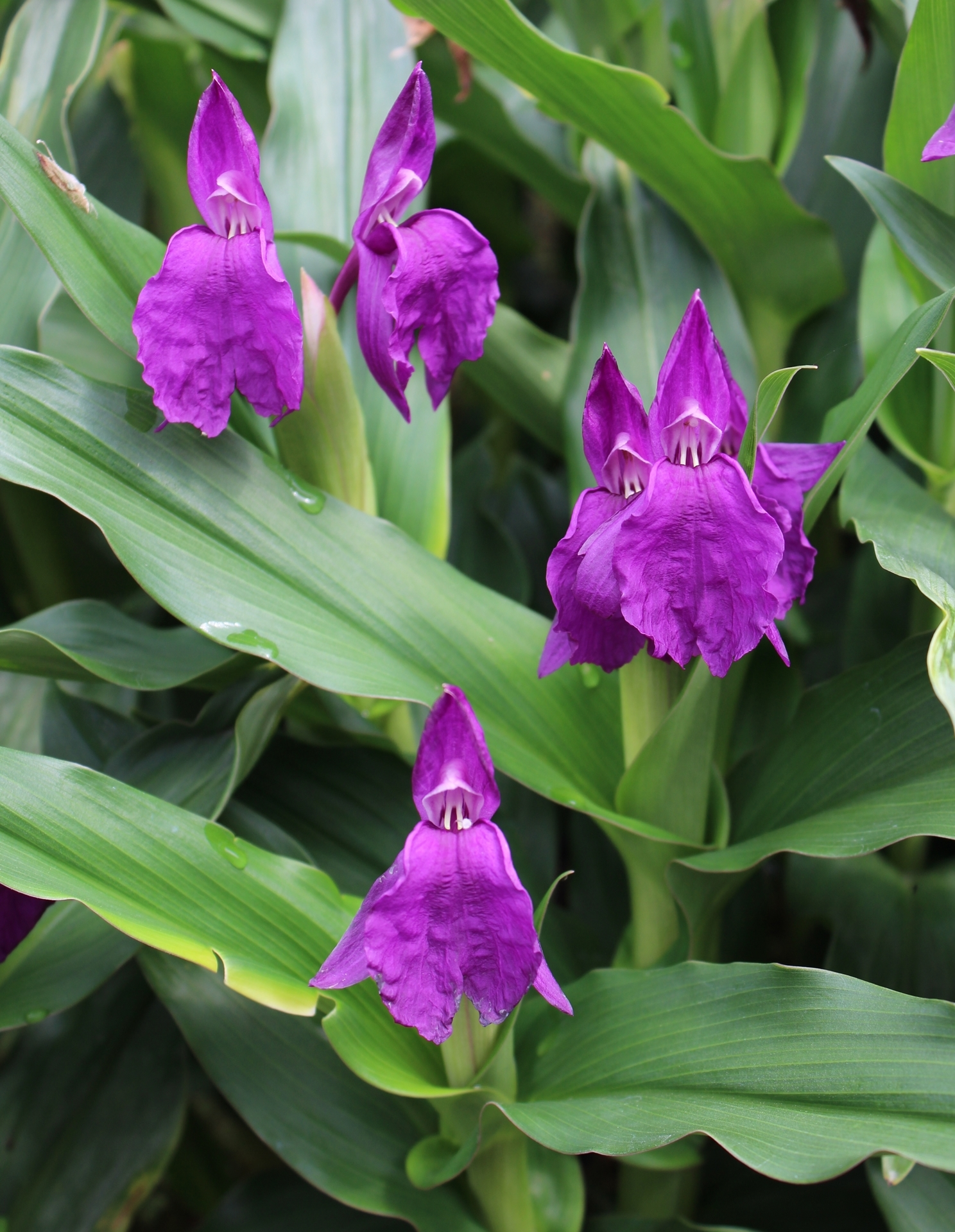 "Picture of Roscoea auriculata ""Early Blooming"""