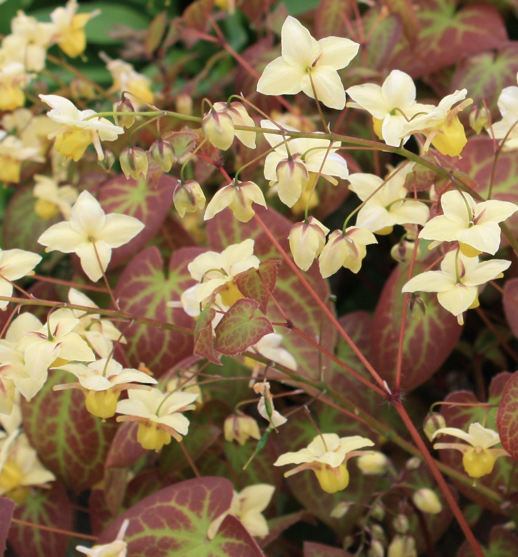 Picture of Epimedium x versicolor 'Sulphureum'