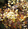 Picture of Epimedium x versicolor 'Sulphureum'