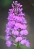 Picture of Dactylorhiza fuchsii 'Bressingham Bonus'