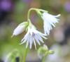 Picture of Soldanella minima 'Alba'