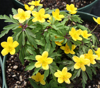 Picture of Anemone ranunculoides ssp ranunculoides