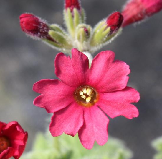 Picture of Primula kisoana 'Iyobenii'