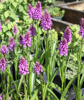 Picture of Dactylorhiza purpurella (plain leaf)