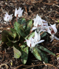 Picture of Erythronium dens-canis 'Snowflake'