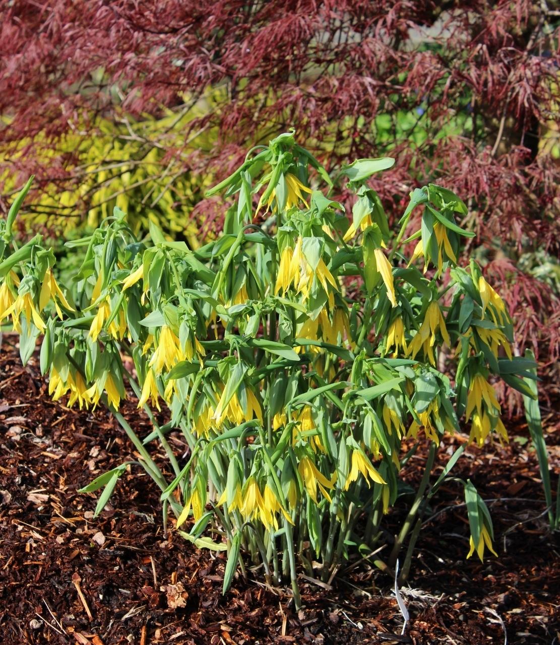 Picture of Uvularia grandiflora