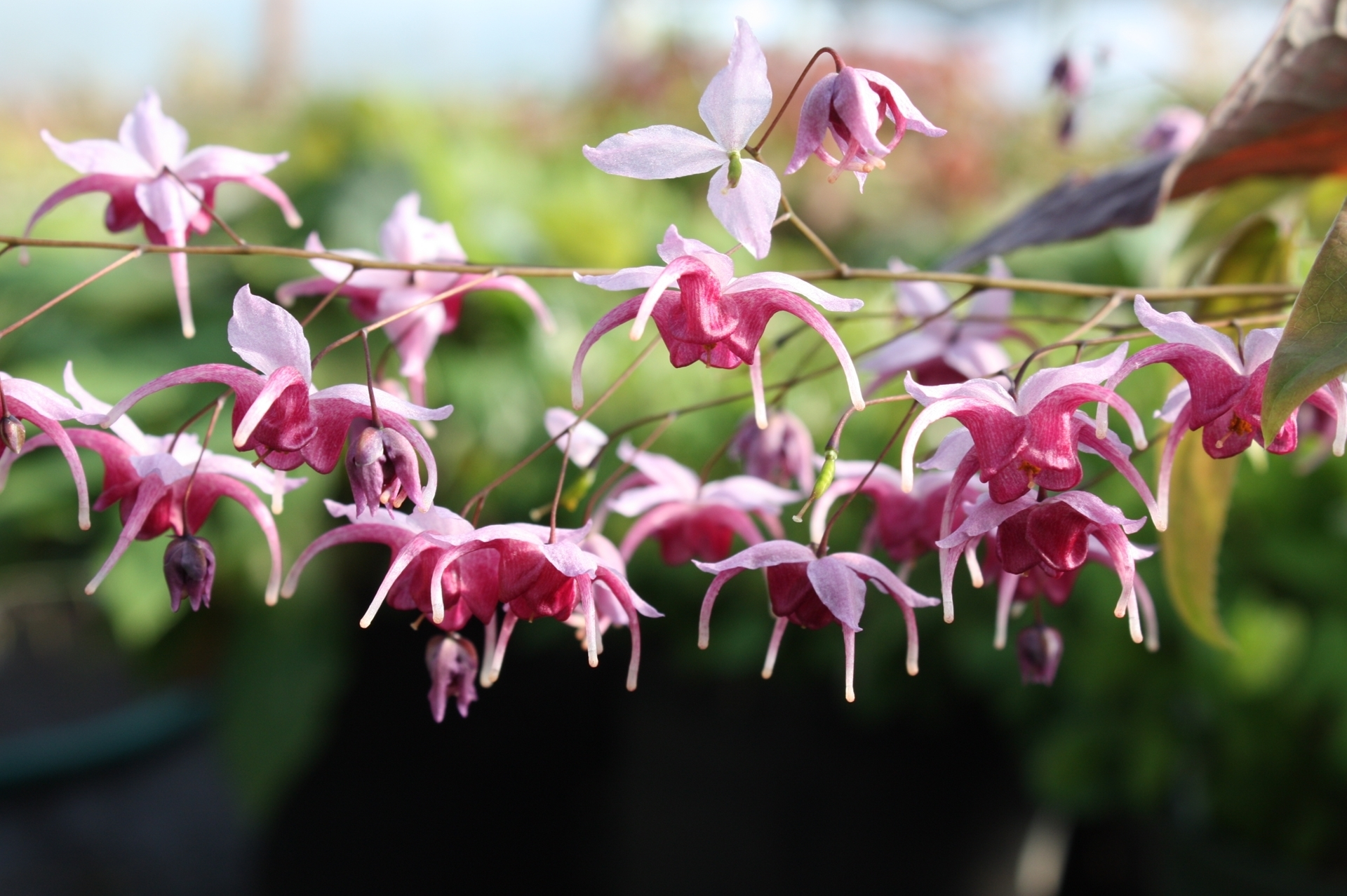 Picture of Epimedium 'Diana' (EP 1501)
