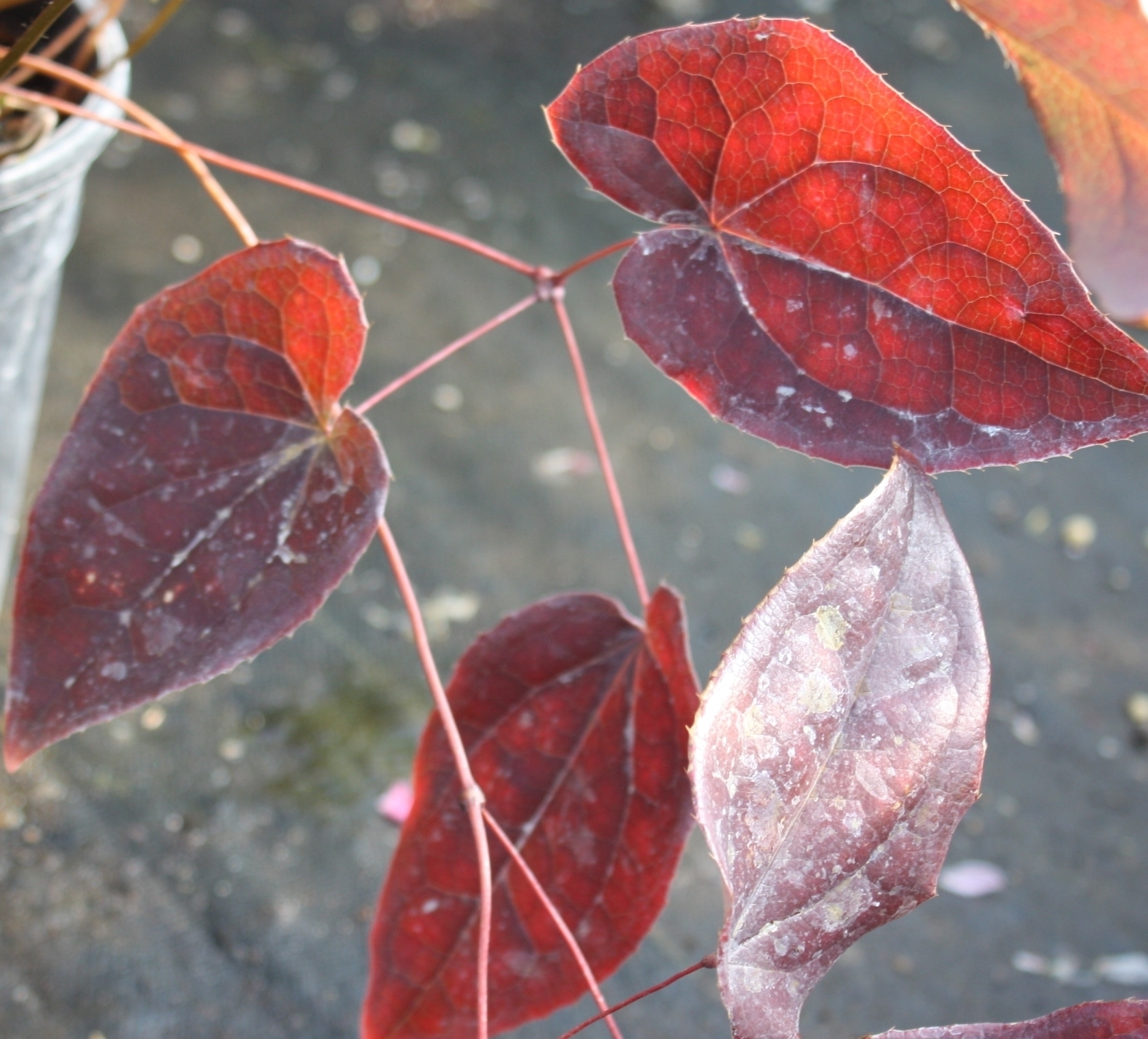 Fall color, lasting into spring in protected areas