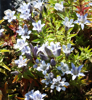 Picture of Gentiana septemfida pale blue mix