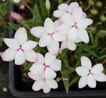 Picture of Rhodohypoxis baurii 'Tetra White'