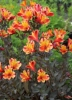 Picture of Alstroemeria 'Indian Summer'