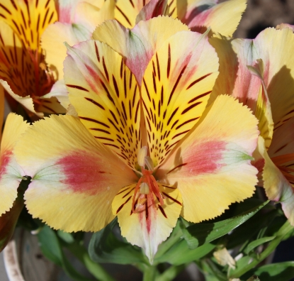 Picture of Alstroemeria 'Princess Sara'