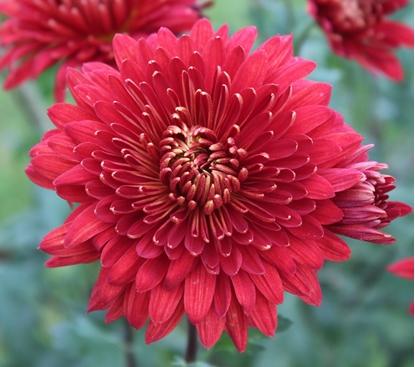 Picture of Chrysanthemum 'Brennpunkt'