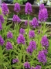 "Picture of Dactylorhiza fuchsii hybrid ""Leopard Spots"""