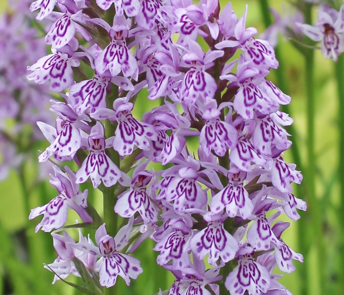 Picture of Dactylorhiza maculata