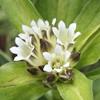 Picture of Gentiana tibetica