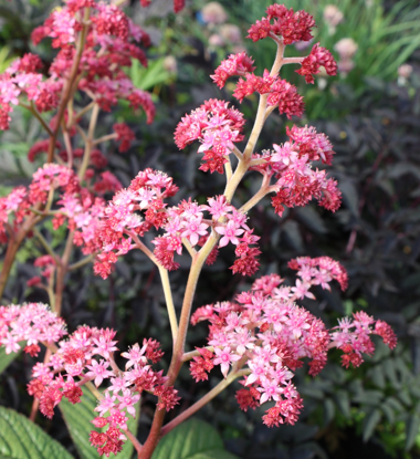 Picture of Rodgersia pinnata 'Crug Cardinal'