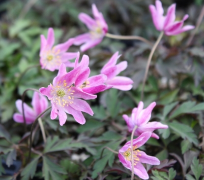 Picture of Anemone nemorosa 'Karminstern'