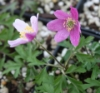 Picture of Anemone nemorosa 'Rotkappchen'