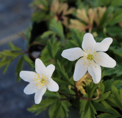 Picture of Anemone nemorosa 'Jan'