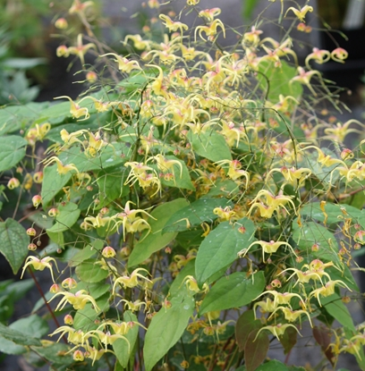 Picture of Epimedium x omeiense ex. 'Akane'