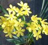 Picture of Sisyrinchium palmifolium