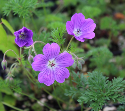 Picture of Geranium magniflorum 'La Veta Lace'