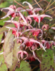 "Picture of Epimedium 'Pink Champagne' 3.5"" pots"