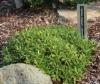 Picture of Daphne cneorum x arbuscula