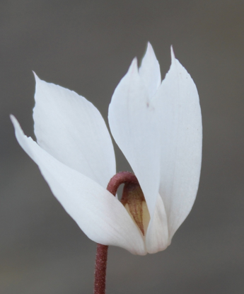 Picture of Cyclamen cilicium 'Album'