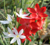 Schizostylis coccinea 'Alba' larger flower form with 'Torero'