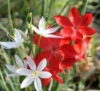 Schizostylis coccinea 'Torero' with 'Alba' larger flower form; it shows the red color most accurately.