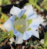 Picture of Gentiana angustifolia-Hybrid EP White I
