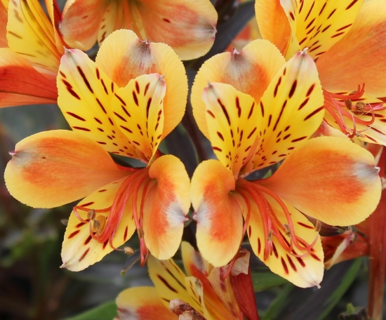Picture of Alstroemeria 'Summer Breeze'