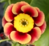 Picture of Primula auricula 'Ancient Society'