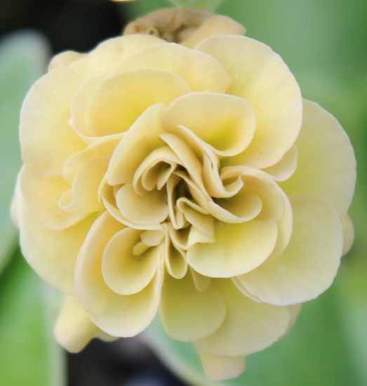 Picture of Primula auricula 'Lincoln Glow'