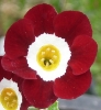 Picture of Primula auricula 'Cortina'