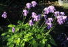 Picture of Hosta mukayama 'Purple Flamingo'