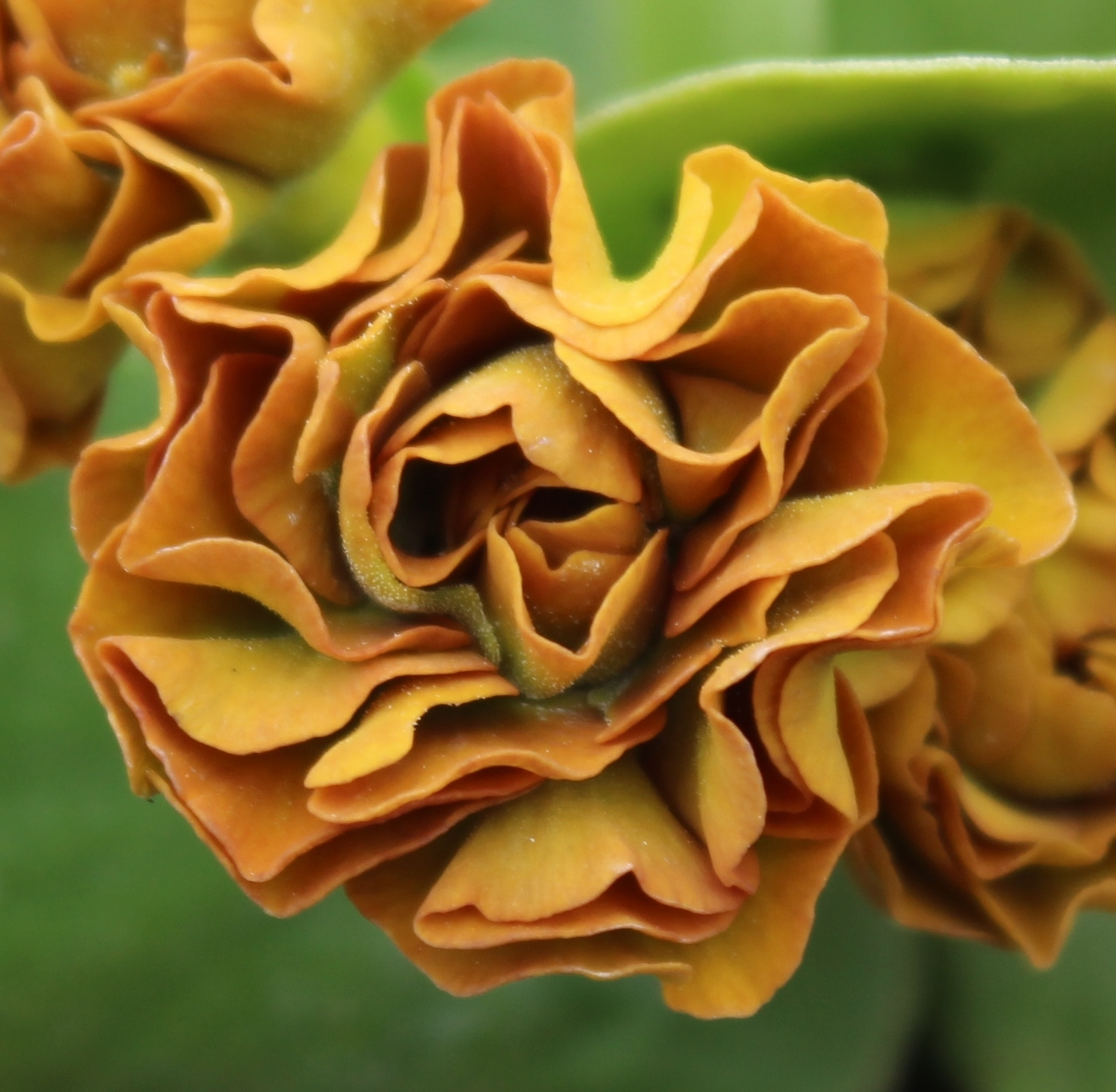 Picture of Primula auricula 'Forest Cappuccino'