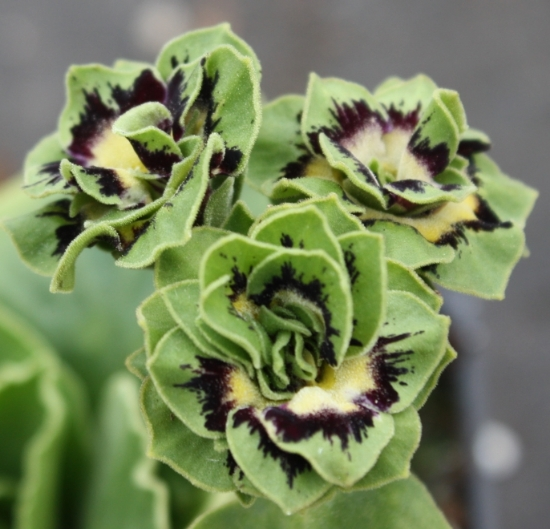 Picture of Primula auricula 'Sword'