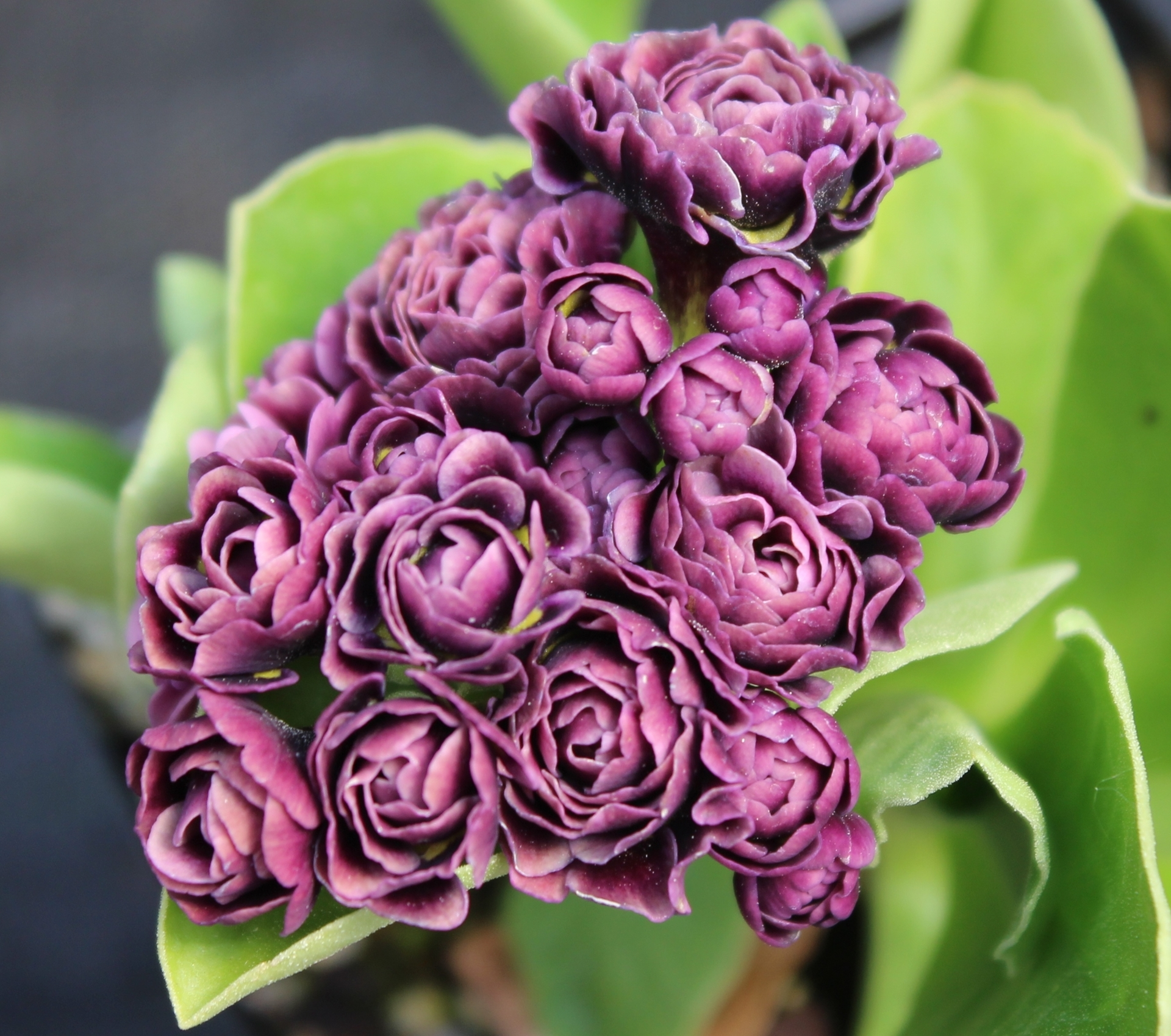 Picture of Primula auricula 'Excalibur'