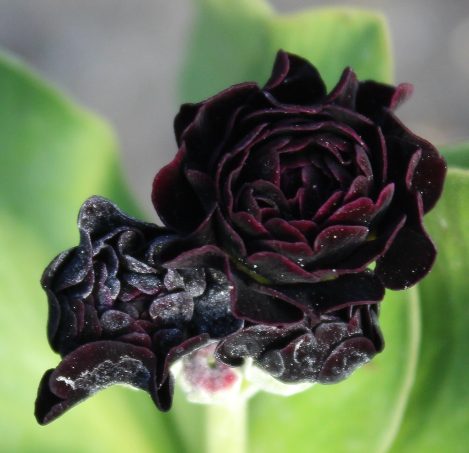 Picture of Primula auricula 'Camelot'