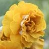 Picture of Primula auricula 'Golden Splendor'