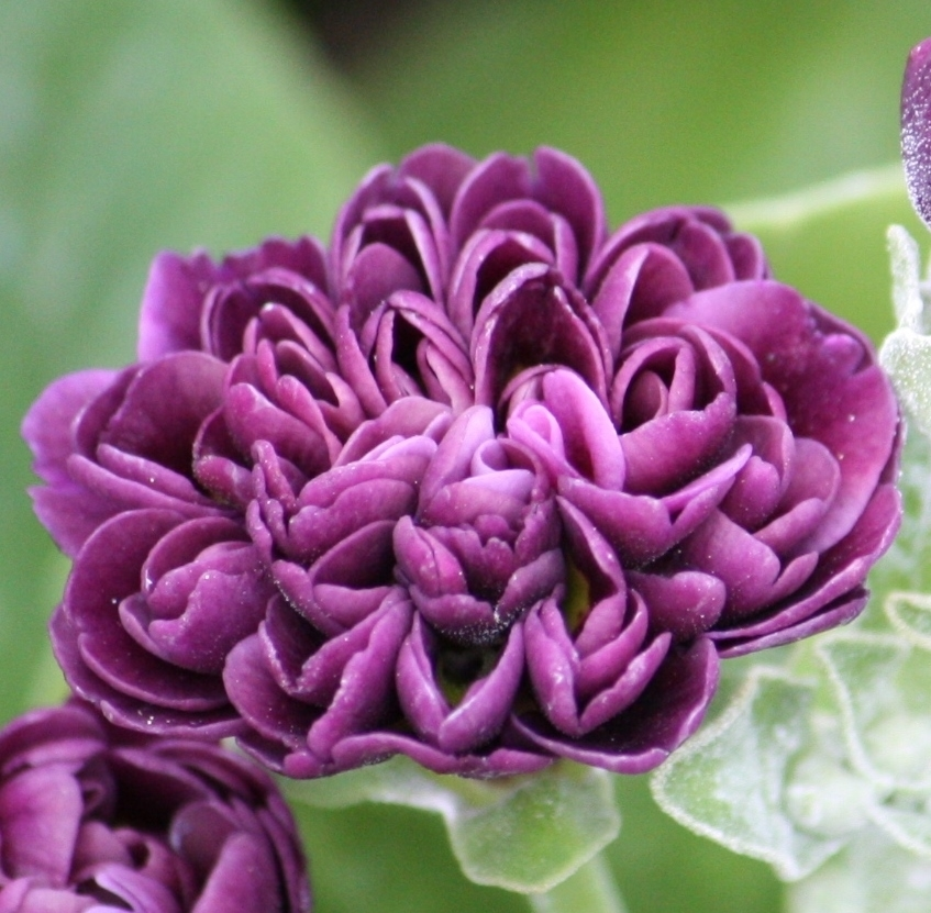 Picture of Primula auricula 'Arctic Fox'
