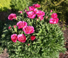 Picture of Paeonia officinalis 'Anemoniflora Rosea'