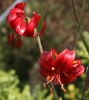 Picture of Lilium davidii 'Berry Red' BR